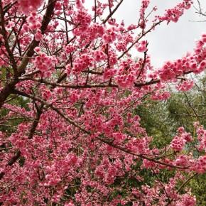 Гора Doi Ang Khang и цветущая Сакура